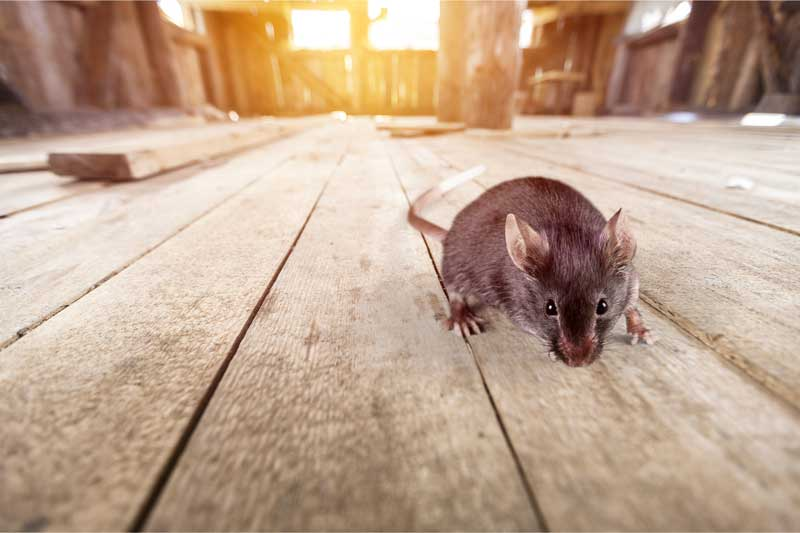 With the Autumn months upon us, the rodent population is on the rise. Landcare Pest Control has seen a rise in calls of rodents entering both domestic and commercial properties.