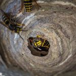 Buzzy Day - Wasps & Hornets - Land Care Pest Control Services